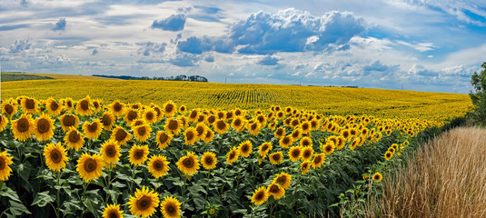 Wall Mural - Summer landscape with a field of sunflowers