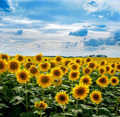 Fototapete - Sunflower field with cloudy sky