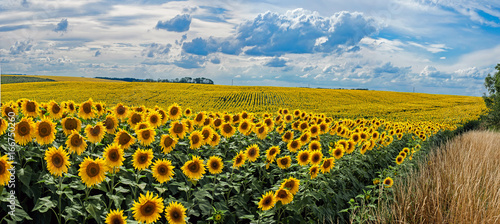 Wall mural Summer landscape with a field of sunflowers