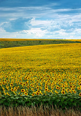 Fototapete - Sunflowers field with clouds