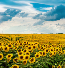 Sunflowers field with clouds