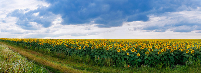 Wall Mural - panorama of field of sunflowers with dirt road