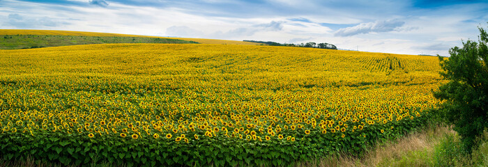 Fototapete - Wonderful panoramic view field of sunflowers