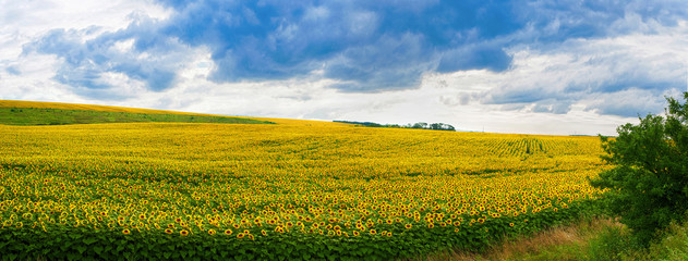 Wall Mural - Wonderful panoramic view field of sunflowers