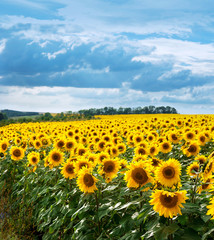 Wall Mural - Sunflower field landscape