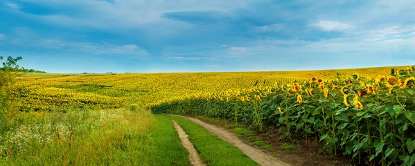 Fototapete - Sunflowers field with a dirt road