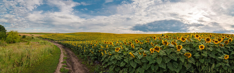 Wall Mural - panoramic view with a field of sunflowers with dirt road