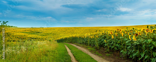 Wall mural Sunflowers field with a dirt road