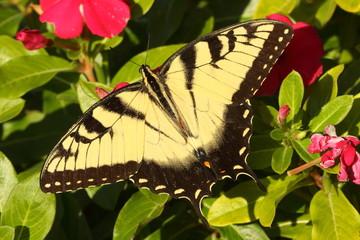 Fotoväggar - Male Tiger Swallowtail (papilio glaucas)