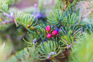 Macro closeup of bright tiny pink pinecones by needles showing detail and texture