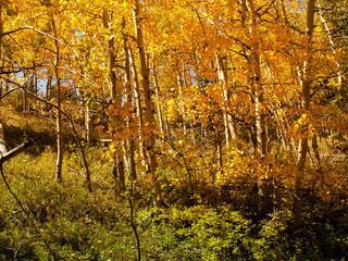 Fall Yellow Apens