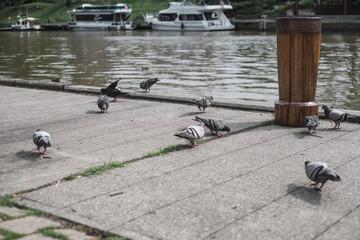 Pecking Pigeons