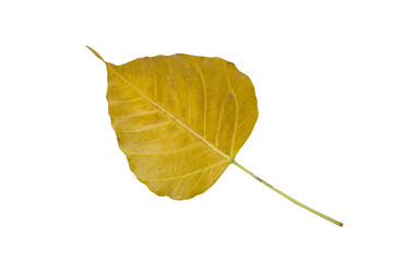 Yellow Bodhi leaves isolate on white background.