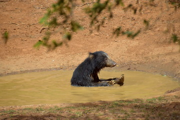 Sloth bear having fun in the water in Wilpattu National Park, Sri Lanka