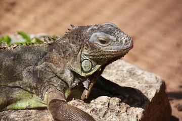 Beautigul iguana laying on a rock