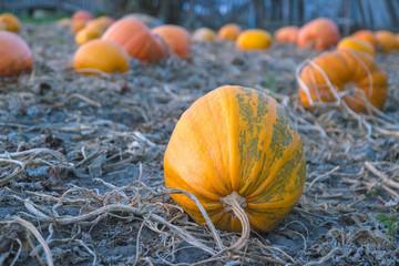 Pumpkin harvest at evening