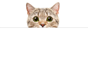 Portrait of a Scottish Straight cat peeking from behind a banner, isolated on white background