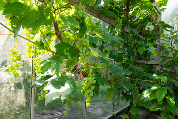 Inside the greenhouse - Grapevine with green grapes