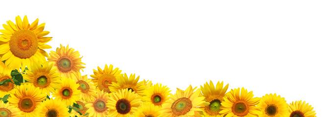 Spoed Foto op Canvas Zonnebloem Sonnenblumen auf weissem Hintergrund
