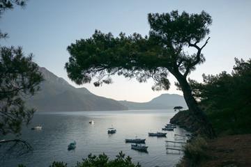 Pine tree with blue sea background Turkey