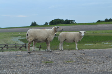 Foto auf Gartenposter Schaf een ooi met lam op de asfaltweg op de dijk bij de Waddenzee