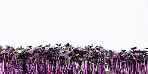 Cress isolated on white