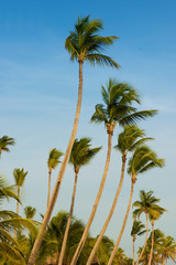 Coconut trees against the blue sky. Beautiful day