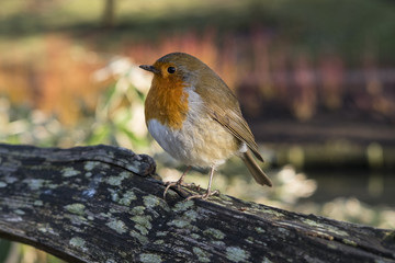 A Robin Puffing His Feathers Up On A Cold Winter Morning
