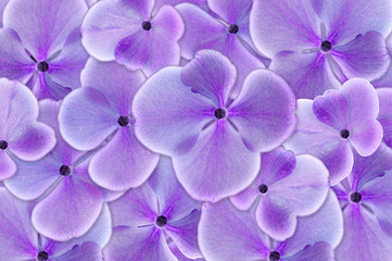 Purple hydrangea flower in closeup