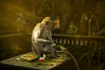 Monkey plays with gift to the god.