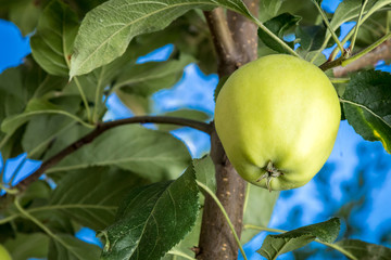 Green apple growing on the tree.