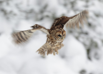 Eurasian Tawny Owl in flight