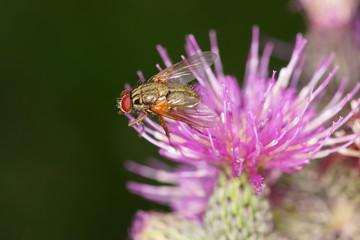 Distel und Fliege