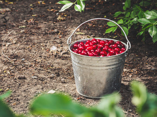 Red cherries in a bucket