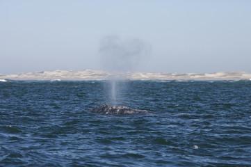California gray whale (Eschrichtius robustus) in the waters of Ojo de Liebre Lagoon, Guerrero Negro, Baja California Sur, Mexico.