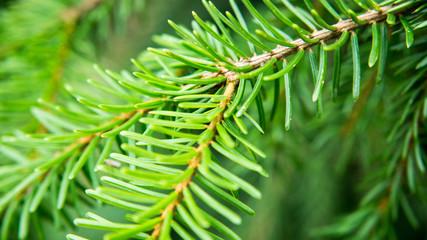 twigs of conifer