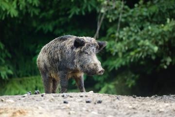 Wall Mural - Wild boar in forest