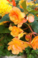 Begonia tuberhybrida group  of yellow flowers with green vetical