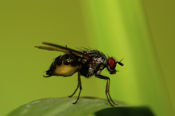 Close-up of the Caucasian fly Muscidae