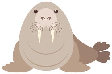 Walrus on white background