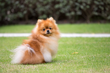Pomeranian dog in the garden