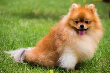 Cute Pomeranian dog and outdoor garden