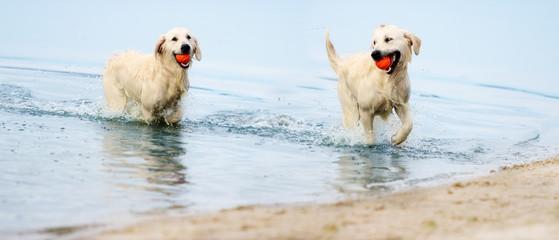 A dog runs the beach in a spray of water, a golden retriever