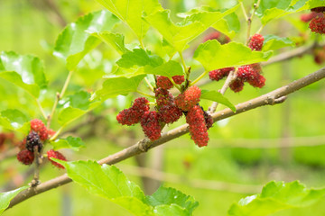 Mulberry in the garden