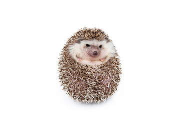 Hedgehog on the White Background