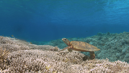 Hawksbill turtle on a Coral reef while eating