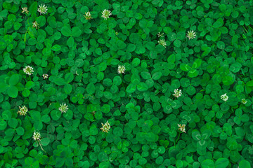 Field of clover. Green background for Saint Patrick's day