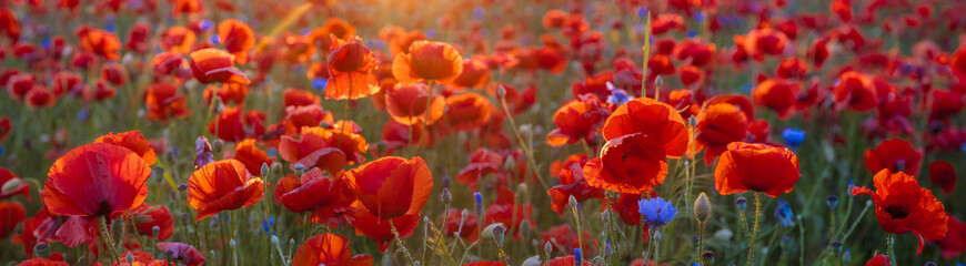 Foto op Canvas Poppy Poppy meadow in the beautiful light of the evening sun