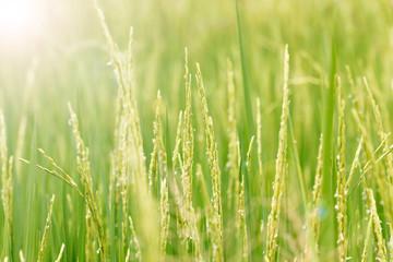 Outdoor rice field