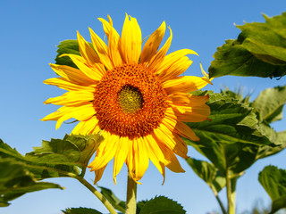 Flower of a sunflower with leaves against a blue sky on a sunny summer day